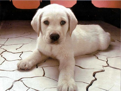Salute, i cani capaci di diagnosticare il tumore prostatico