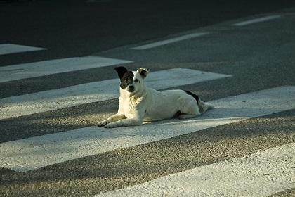 Palermo, cane attraversa la strada sulle strisce