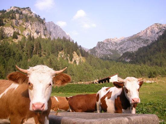 Palermo, pericolo mucche malate di tubercolosi: è allerta