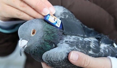 Inghilterra, il mistero del piccione viaggiatore