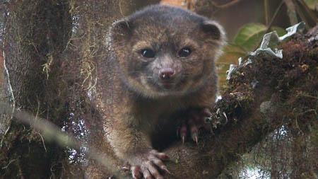 Curiosità, scoperto l'Olinguito, un nuovo mammifero