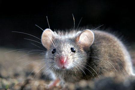 """Scienza, i topi """"infetti"""" non hanno paura dei gatti"""