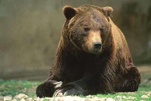 Curiosità, lo Yeti? Esiste davvero: è un orso!