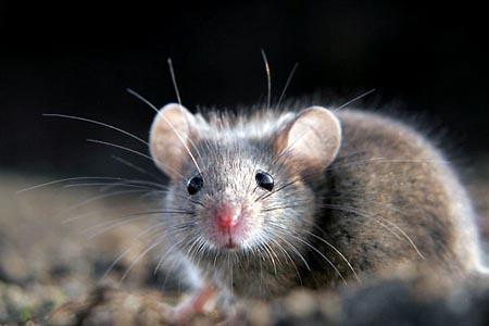 Palermo, invasione di topi a Boccadifalco