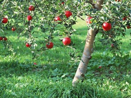 Scienza, dal melo nuove speranze contro il diabete