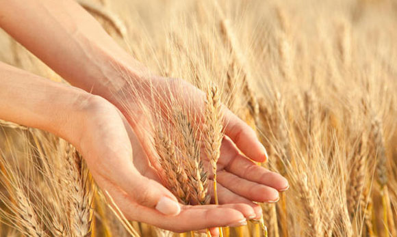 Celiachia, l'intolleranza al glutine nasce dai geni