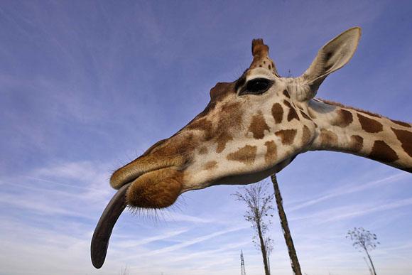 Natura, i biologi lanciano l'allarme: giraffe a rischio estinzione
