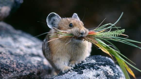 Scienza - Creato il topo dal super olfatto