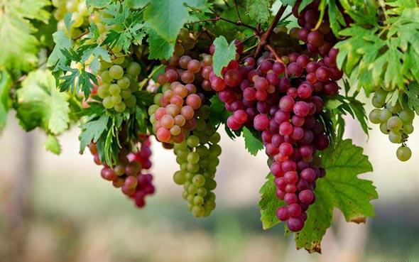 Tumori, il succo d'uva protegge contro il cancro al colon