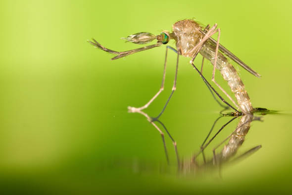 Zanzare uccise da altre zanzare