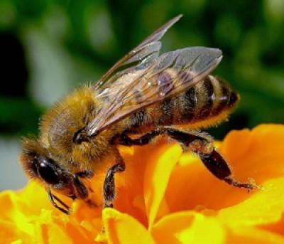 Le api vincono contro … I Pesticidi !