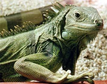 Una Iguana al Centro Storico di Palermo